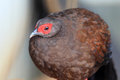 Edwards s pheasant lophura edwardsi Royalty Free Stock Photography
