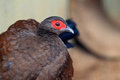 Edwards s pheasant lophura edwardsi Stock Photography