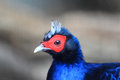 Edwards s pheasant lophura edwardsi Royalty Free Stock Photos
