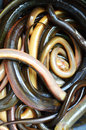Eel market fresh in basin selling at Stock Photos