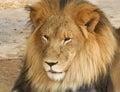 Een portret van afrikaans lion male Royalty-vrije Stock Foto's
