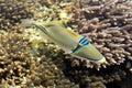 Een vis van het Koraal in het Rode Overzees Stock Fotografie