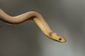 Egg eating snake an strected out into air Stock Photography
