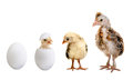 Egg little nestling chicks and white on white background isolated Stock Photos