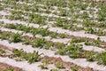 Eggplant farmland Stock Image