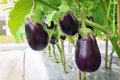 Eggplant growing in field plant ready for harvest. Royalty Free Stock Photo