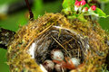 Eggs in birds nest Royalty Free Stock Photo
