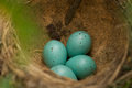 Eggs in a nest of song thrush Royalty Free Stock Image