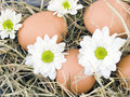 Eggs and oxeye daisy flower lying on hay Stock Image