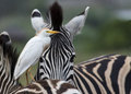 Egret amongst zebra a cattle riding on a with a head in the background Stock Photo