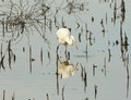 An Egret Catches a Fish in a Marsh Stock Photos
