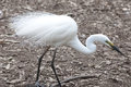 Egret Royalty Free Stock Photo