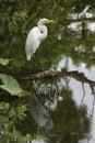 Egret con la reflexión Fotografía de archivo
