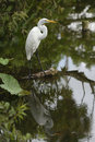 Egret con la riflessione Fotografia Stock