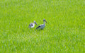 The egret in cornfield green of thailand Royalty Free Stock Photo