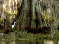 Egret and Cypress Royalty Free Stock Photo
