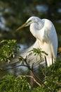 Egret di bestiame grande Fotografia Stock Libera da Diritti