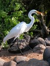 Egret eating breakfast Royalty Free Stock Image