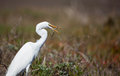 Egret Eating A Smelt Stock Photos