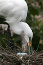 Egret and eggs Stock Photography