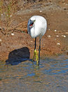 Egret fishing Royalty Free Stock Photo
