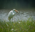 Egret with fresh catch this great white caught a catfish Stock Photo