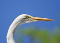 Egret Head Shot Royalty Free Stock Photo
