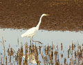 An Egret Hunts for Fish in a Marsh Stock Photography