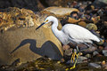 Egret, La Jolla Shores, California Stock Photos