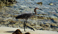Egret large walking on shoreline of caribbean beach Royalty Free Stock Image