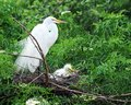 Egret Mom and Chick Royalty Free Stock Images