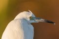 Egret portrait perched in evening light Royalty Free Stock Photo