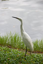 Egret standing beside the lake poultry species along Stock Photos