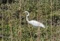 Egret In The Wetlands