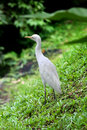 Egret white standing at the grass slope Royalty Free Stock Images