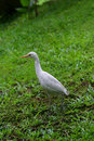 Egret white walking on grass Royalty Free Stock Photos