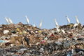 Egrets on the garbage heap Royalty Free Stock Photo