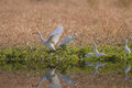 Egrets a white egret with a big moth in its beak by the river Stock Photography