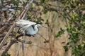 Egretta garzetta starts flying from branch Stock Photography