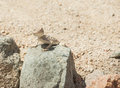 Egyptian desert agama lizard on a rock in harsh arid environment Stock Image