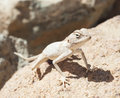 Egyptian desert agama lizard on a rock Royalty Free Stock Photo