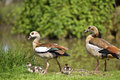 Egyptian geese and chicks couple of alopochen aegyptiacus on grass with two Royalty Free Stock Photography