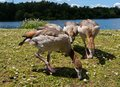 Egyptian Geese Grazing