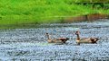 Egyptian geese swimming two in the water of a south florida golf course Stock Photography