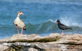 Egyptian goose and african black oystercatcher perched on rock by ocean Stock Image