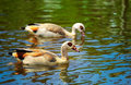 Egyptian Goose (Alopochen aegyptiacus) Stock Photo