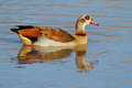 Egyptian goose alopochen aegyptiacus swimming in a pond south africa Stock Image
