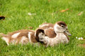 Egyptian goose chicks two rest on the grass close by their watching mother taken at sarphati park amsterdam the netherlands europe Stock Images