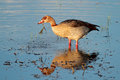 Egyptian goose foraging alopochen aegyptiacus in shallow water south africa Stock Photography
