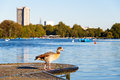 Egyptian Goose In Hyde Park